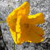 Papaver croceum yellow