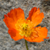 Papaver croceum orange