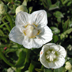 Parnassia palustris UK