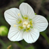 Parnassia palustris Europe