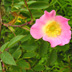 Rosa ferruginea