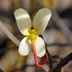Stylidium piliferum