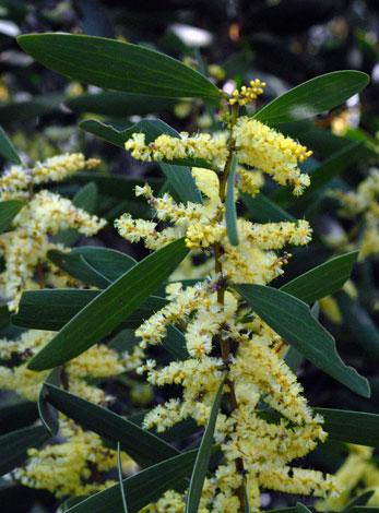 Australian Wild Flower Acacia Longifolia Ssp Sophorae Coast Wattle