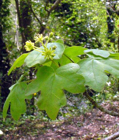 British Wild Flower Acer Campestre Field Maple