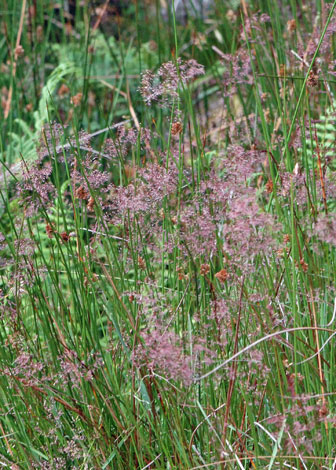 British Wild Plant Agrostis Vinealis Brown Bent