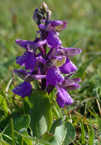 Orchis morio Great Orme