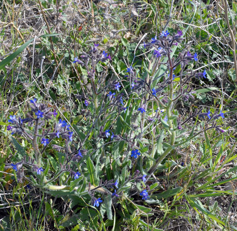 Anchusa azurea whole