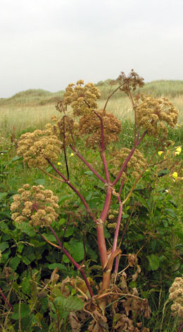 Angelica archangelica whole in fruit