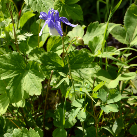 Aquilegia polympica whole