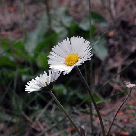 Bellis sylvestris close