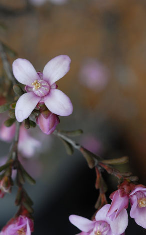 Boronia capitata ssp capitata close