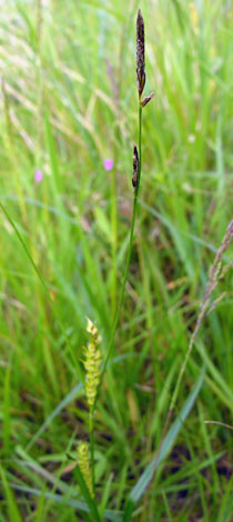 Carex hirta whole
