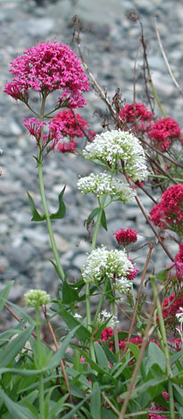 Centranthus ruber all colours