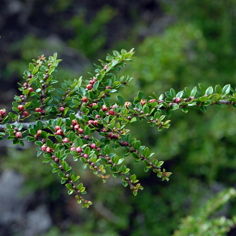 Cotoneaster horizontalis whole