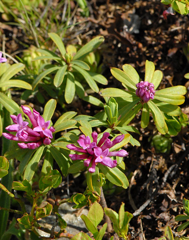 Daphne striata close