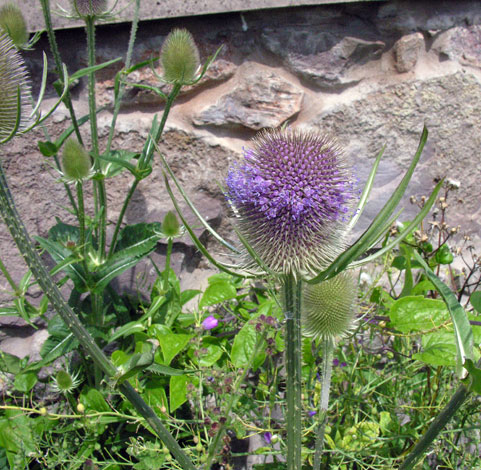 Dipsacus fullonum whole