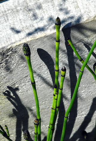 Equisetum x meridionale close