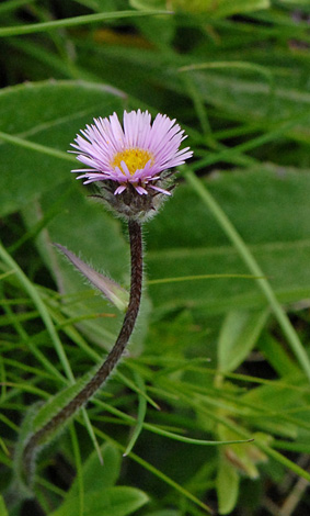 Erigeron alpinus close