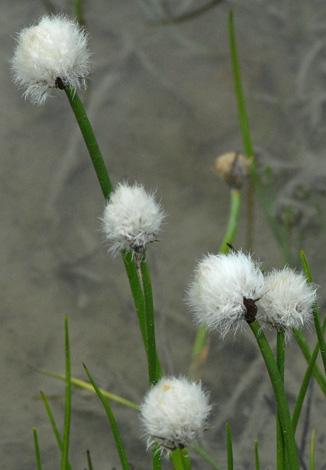 Eriophorum scheuzeri close