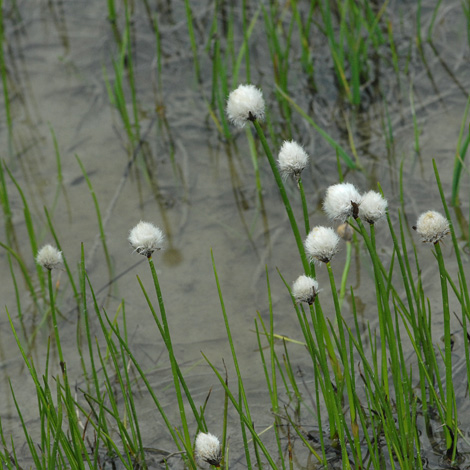 Eriophorum scheuzeri whole