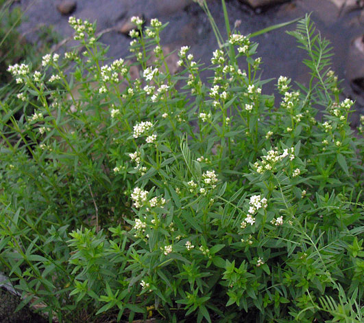 Galium boreale whole