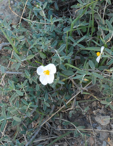 Helianthemum appeninum whole Spain