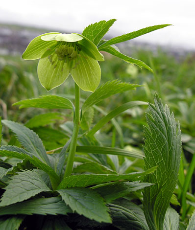 helleborus viridis whole