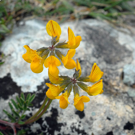 Hippocrepis glauca close