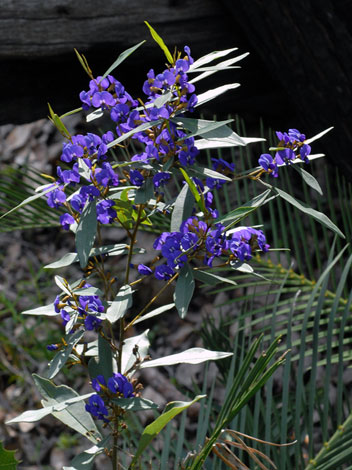 Hovea elliptica whole