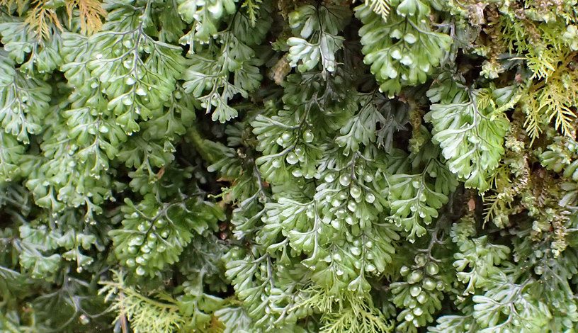Hymenophyllum tunbrigense whole