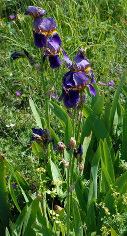 Iris germanica whole