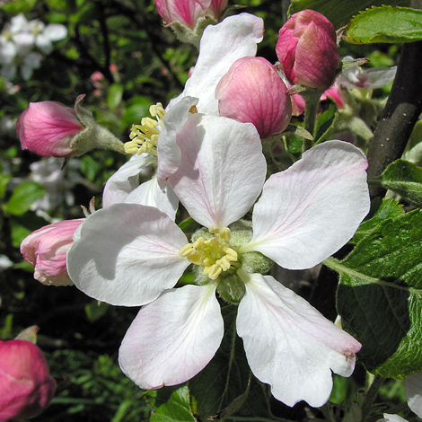 Malus pumila close