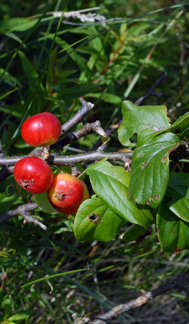 Malus sylvestris fruit