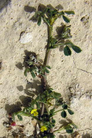 Medicago littoralis whole