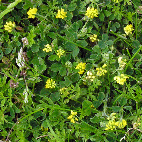 Medicago lupulina whole