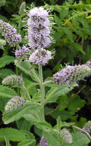 Mentha x villosonervata close