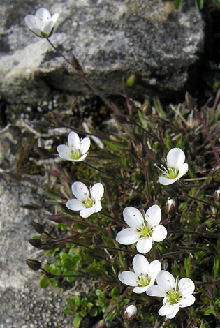 Minuartia verna close