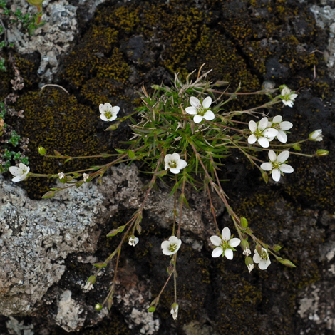 Minuartia verna whole