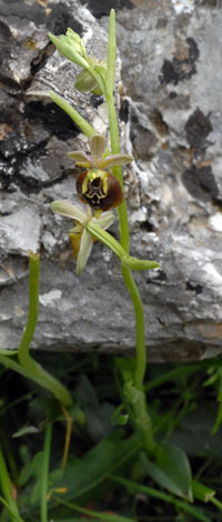 Ophrys fuciflora ssp parvimaculata whole