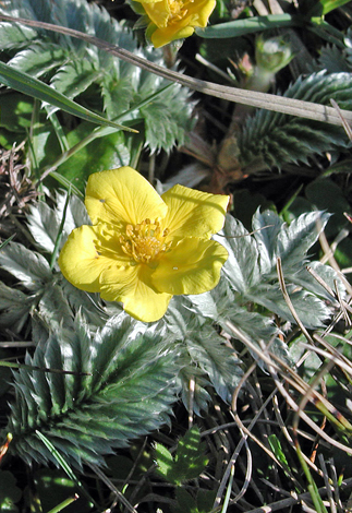 Potentilla anserina close