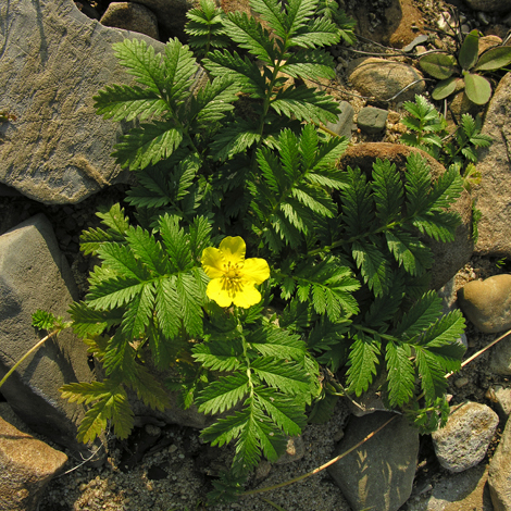 Potentilla anserina whole