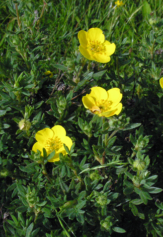 Potentilla fruticosa close