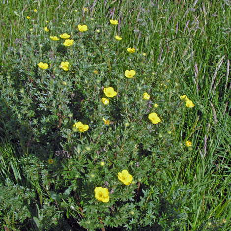 Potentilla fruticosa whole