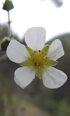 Potentilla rupestris flower