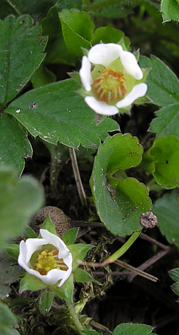 Potentilla sterilis close
