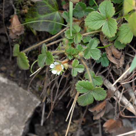 Potentilla sterilis whole