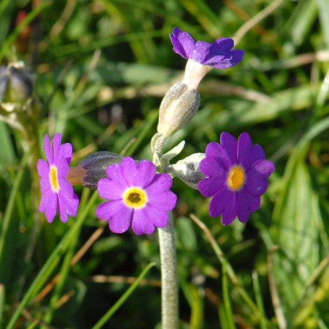 Primula scotica close