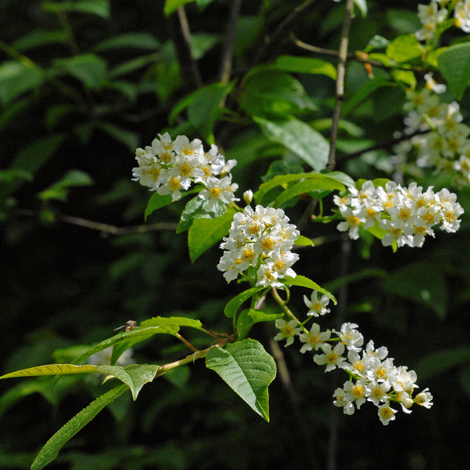 Prunus padus close