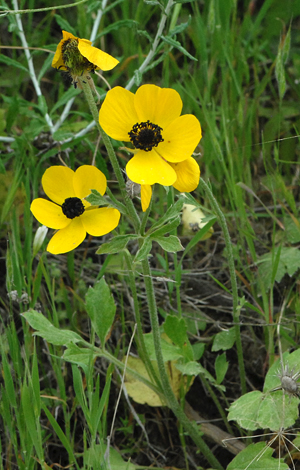 Ranunculus asiaticus whole