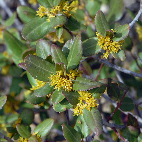 Rhamnus alaternus close